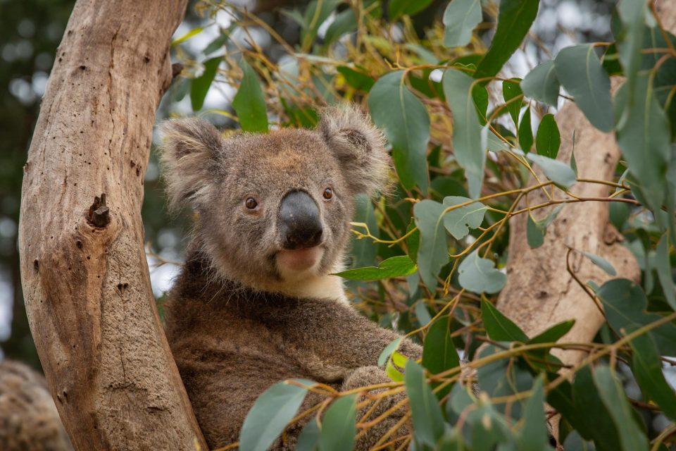 ユーカリの木とコアラ