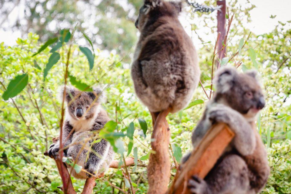 森林火災から保護されたコアラ