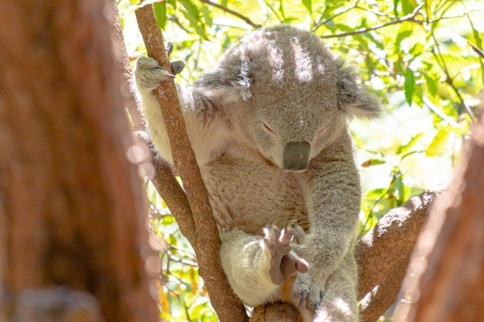 お昼寝するコアラ
