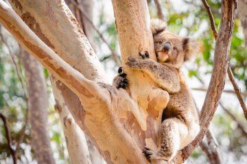 オーストラリアでコアラが抱っこできる場所