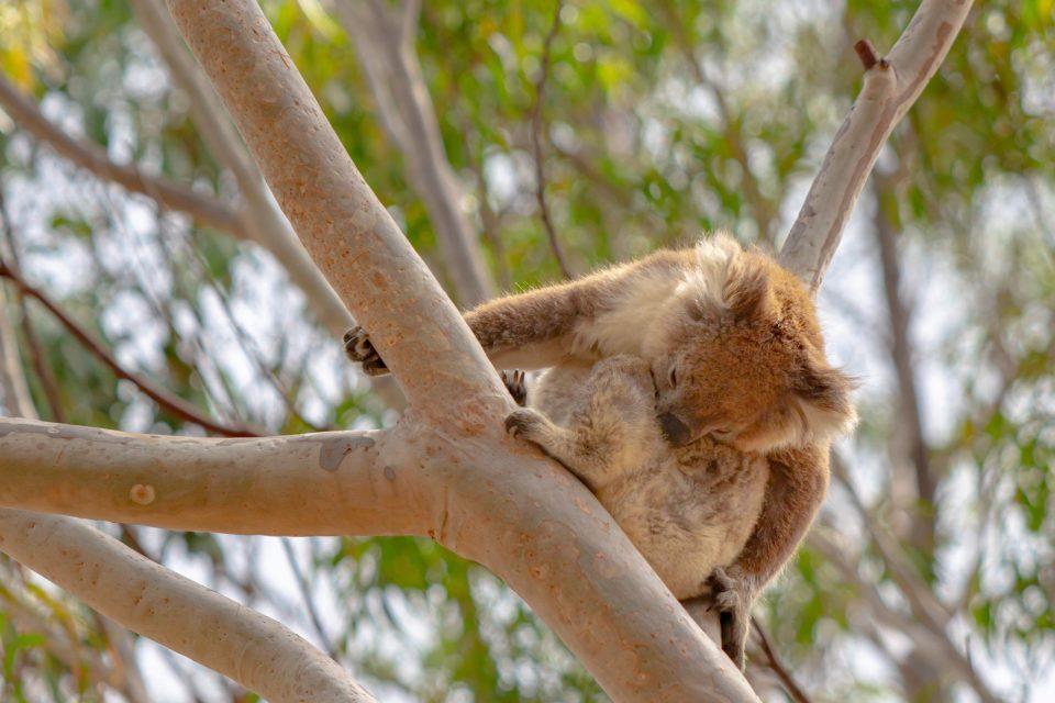 木の上でお昼寝するコアラ