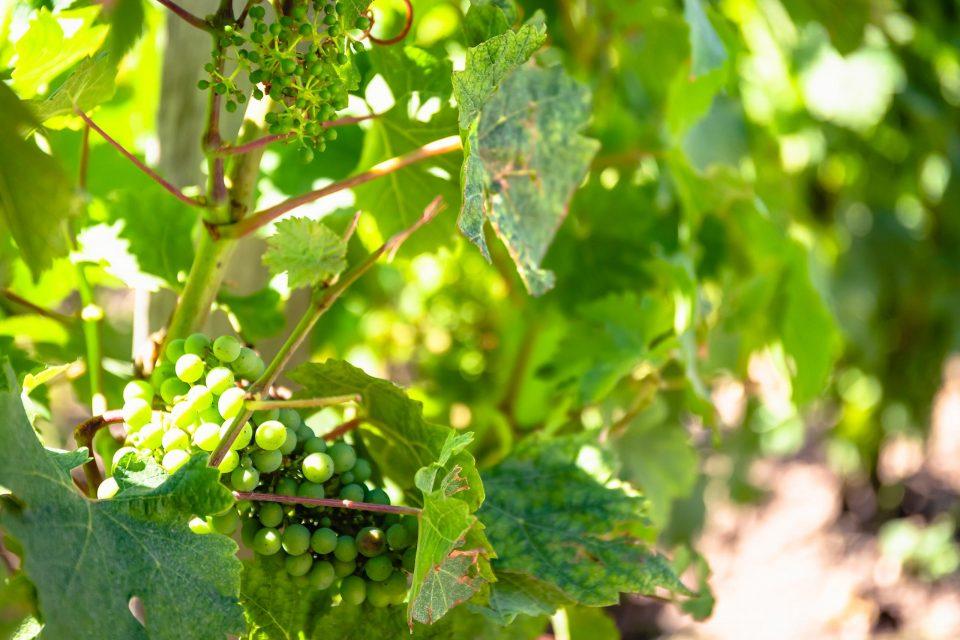 ハンターバレーのブドウ畑