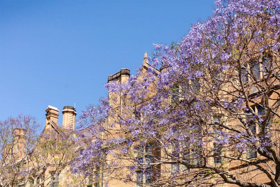 シドニー大学のジャカランダ