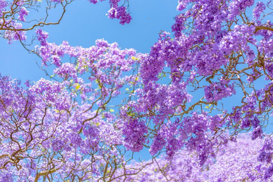 紫色のジャカランダの花