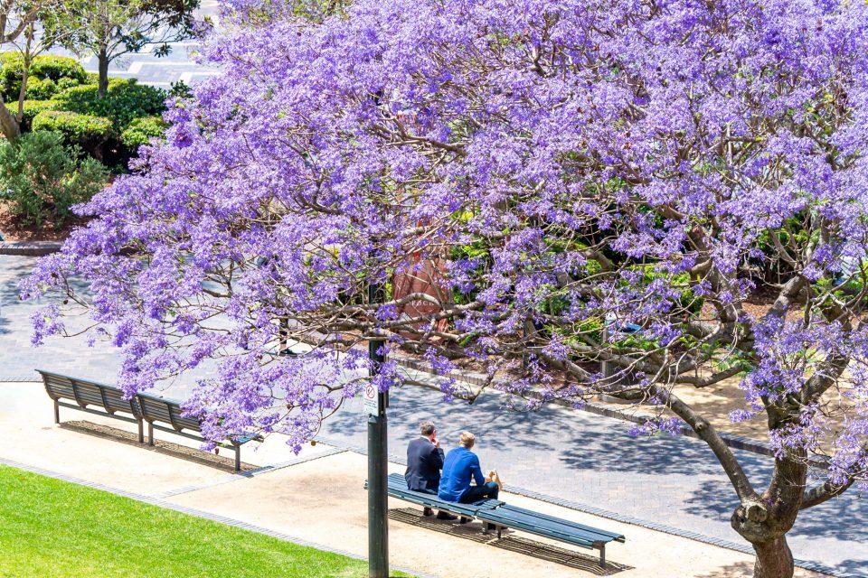 シドニー・サーキュラーキーのジャカランダの花